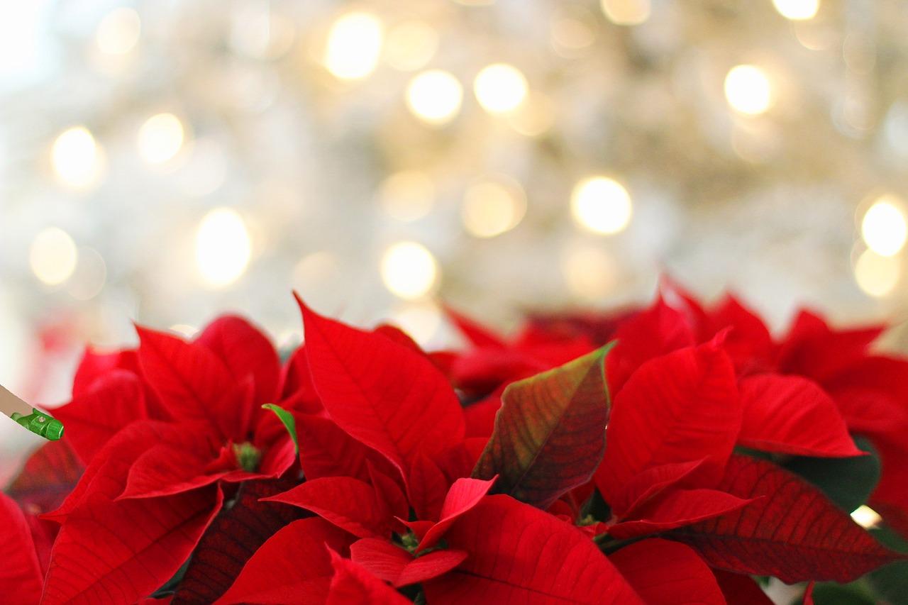 Vánoční hvězda jako symbol Vánoc. Jakých chyb se dopouštíme při pěstování?